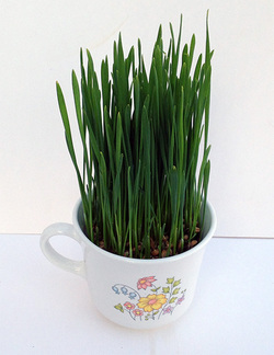 wheatgrass grown in coffee cup