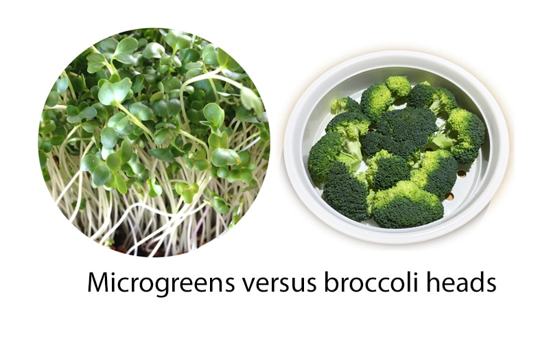 microgreens versus broccoli heads