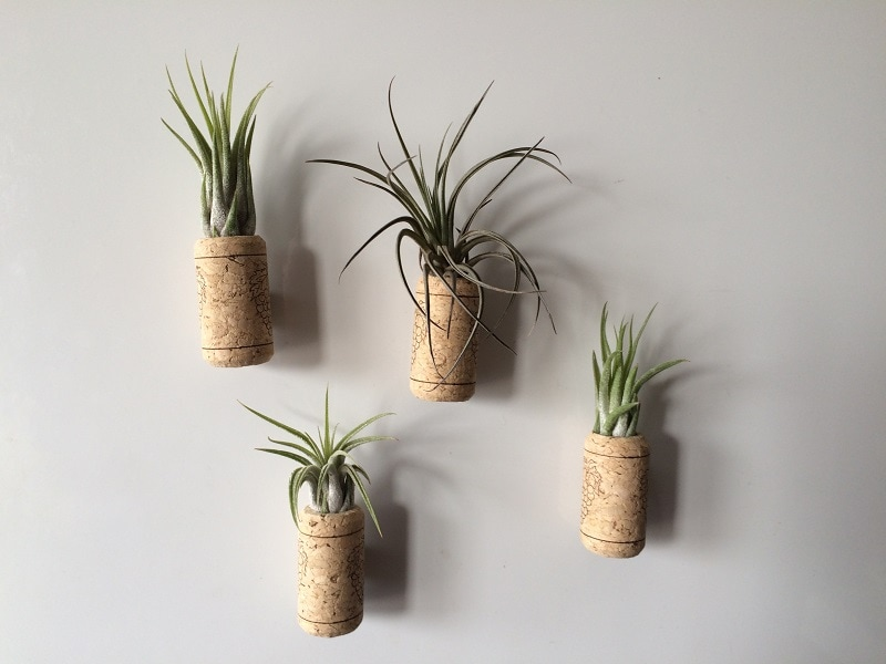 air plants in wine corks