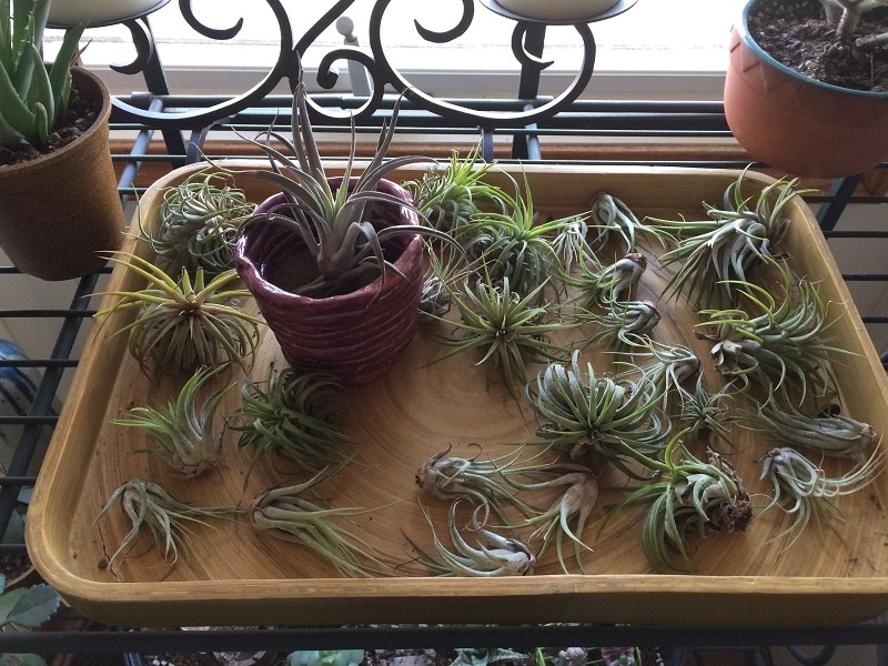air plants on a serving tray