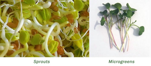microgreens versus sprouts